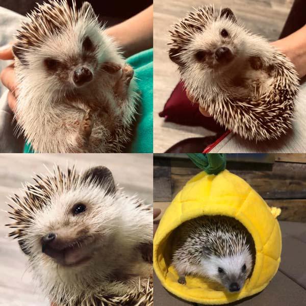 Multiple Hedgehogs